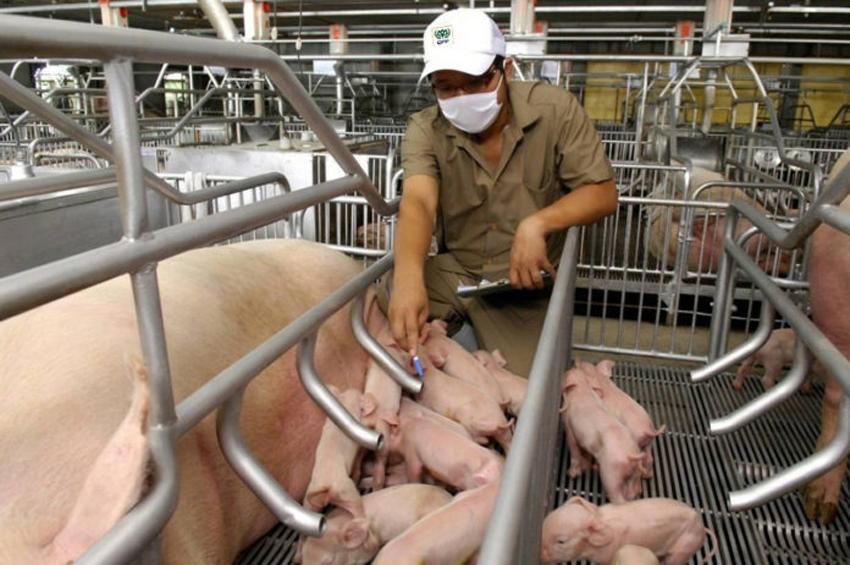 """เปิดเคล็ดลับเลี้ยงหมู-ไก่ """"5 หัวใจการผลิต"""" ได้สัตว์ปลอดโรค-ปลอดภัย สูตรซีพีเอฟ"""